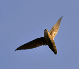Chimney swift overhead