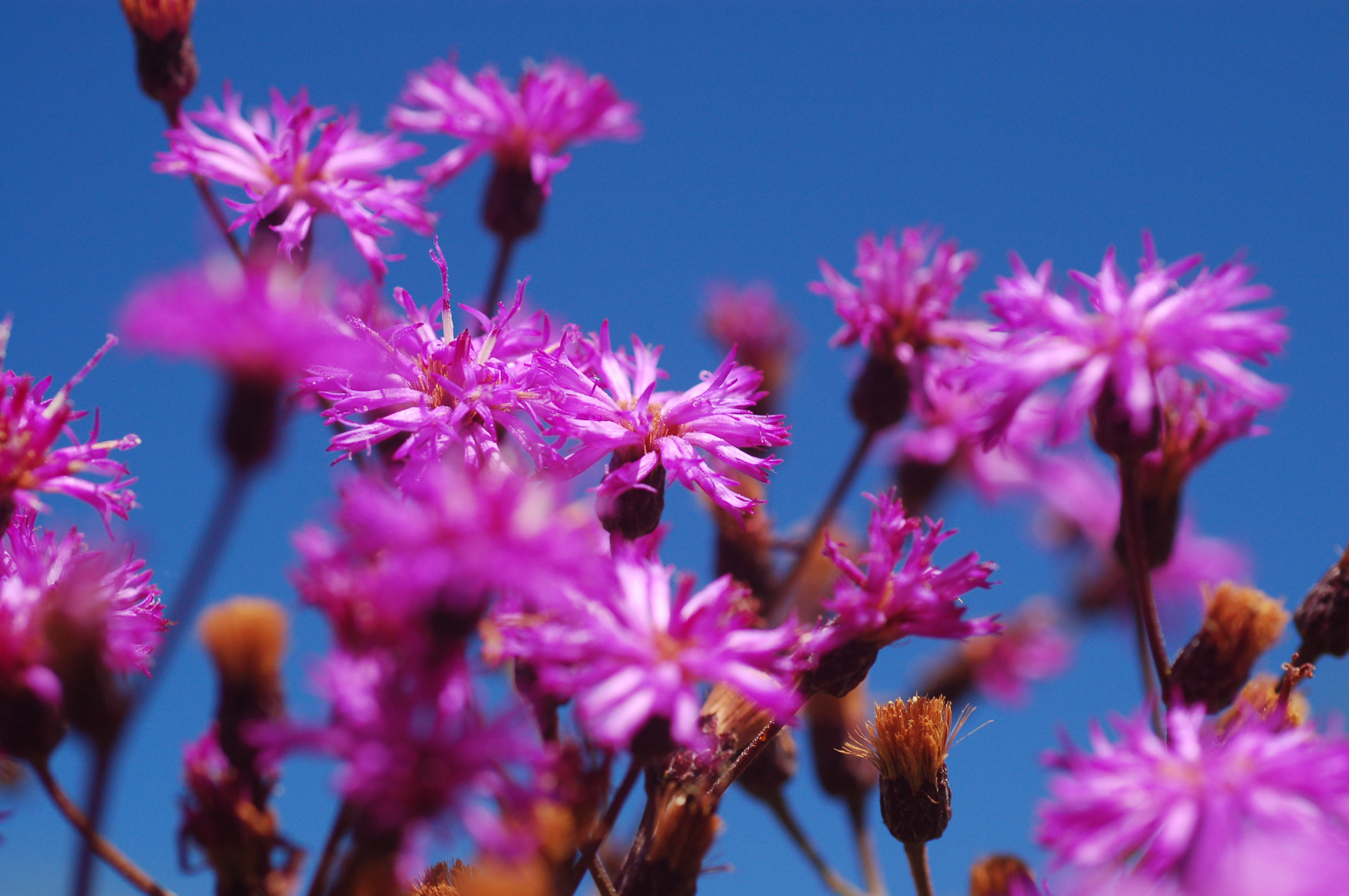 5c9a8adfed84d Intense purple flower clusters in late summer. Height  4 -6 . Width  3-4 .  Sun to part sun. Moist to wet