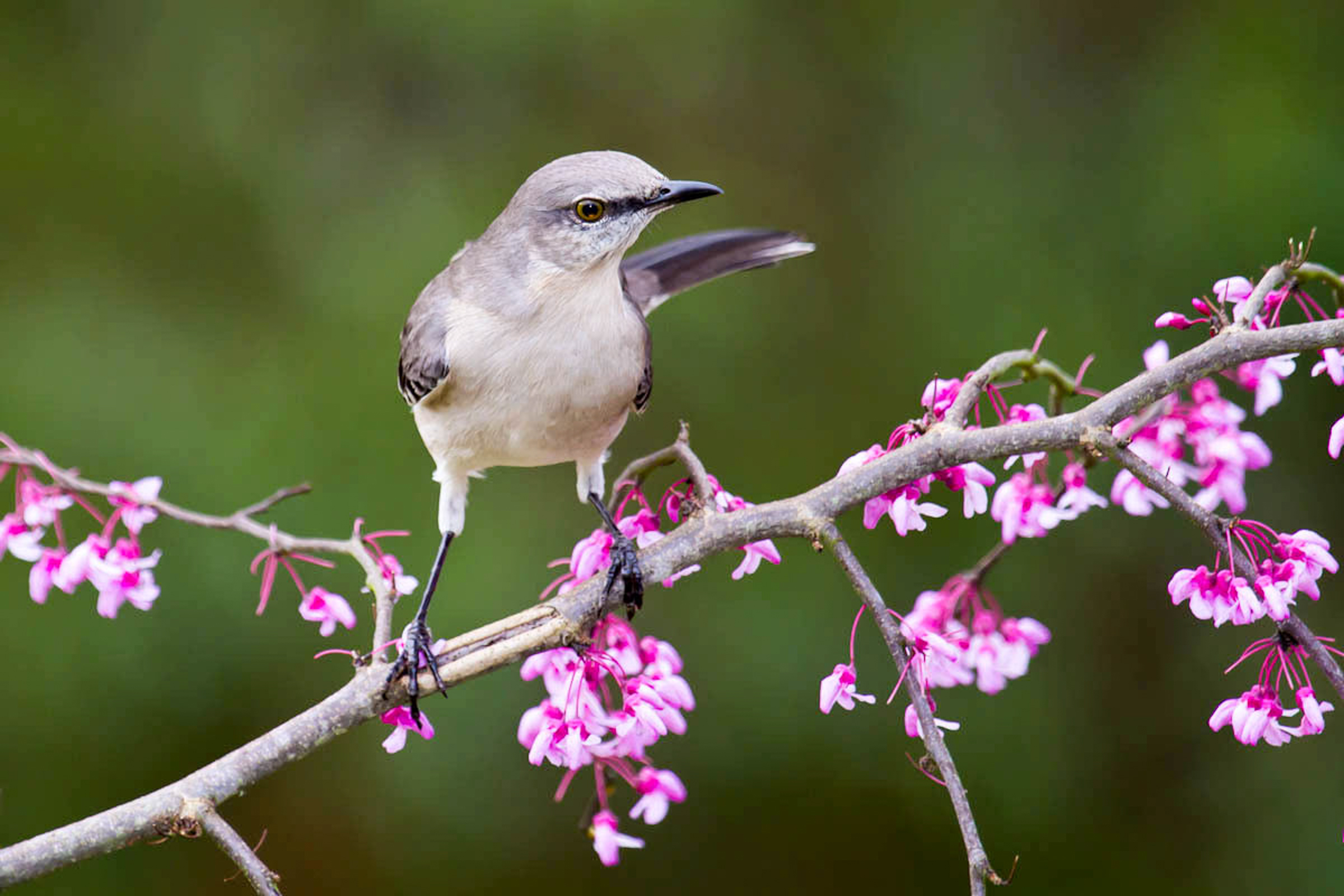 13 gbbc northern mockingbird eastern redbud glenda simmons fl 2012 kk%20%281%29