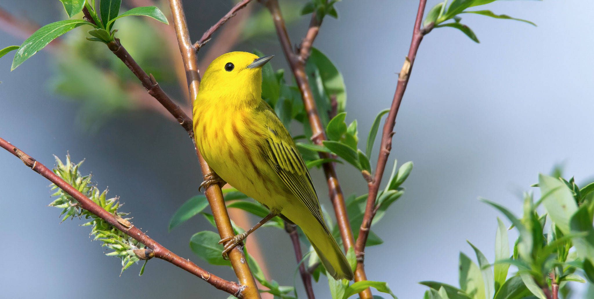 21 yellow warbler native willow tree keith williams flickr cc%28by nc%202.0%29%20%281%29