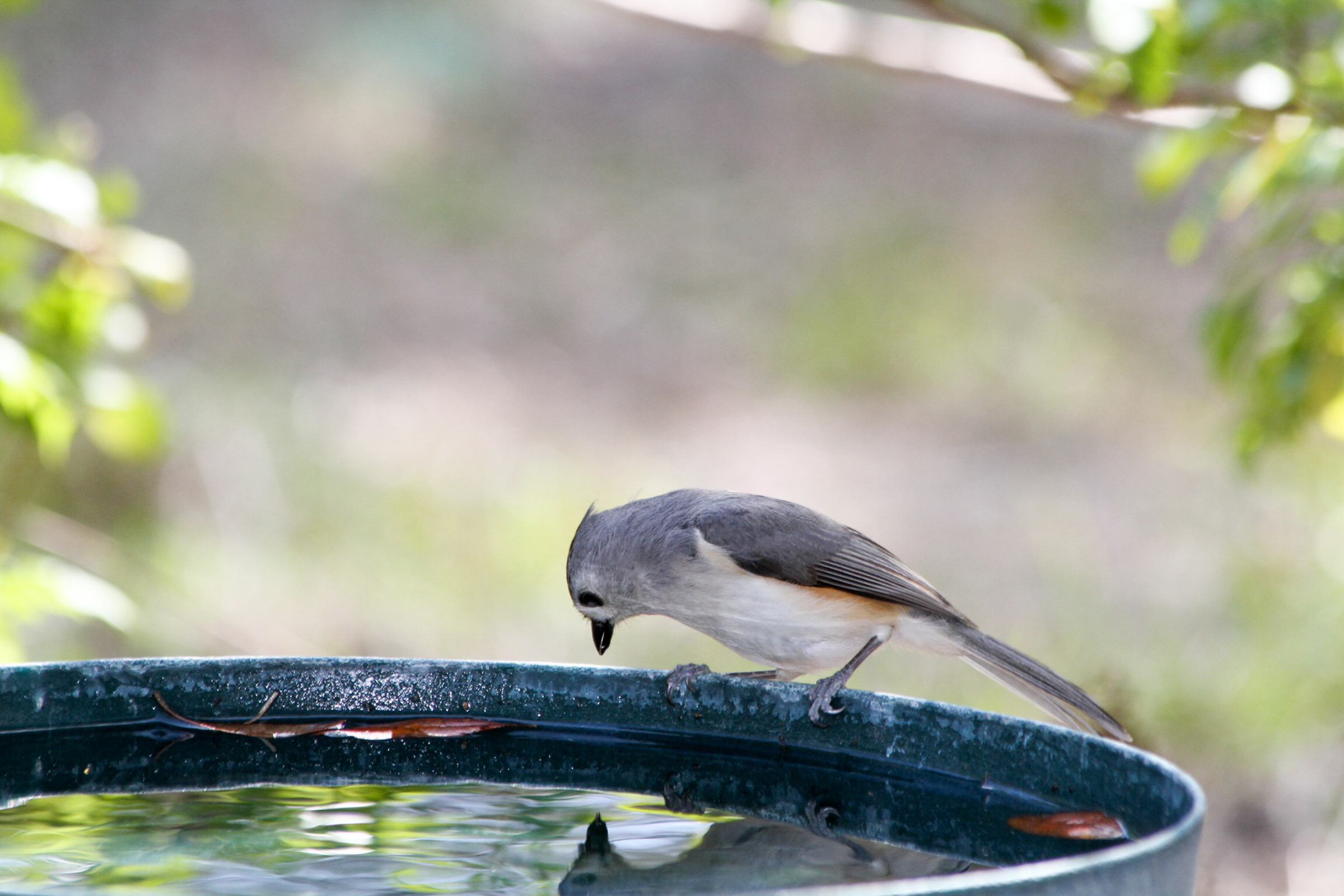 19 tufted titmouse kk dianne chapman gbbc 2015 high res%20%281%29