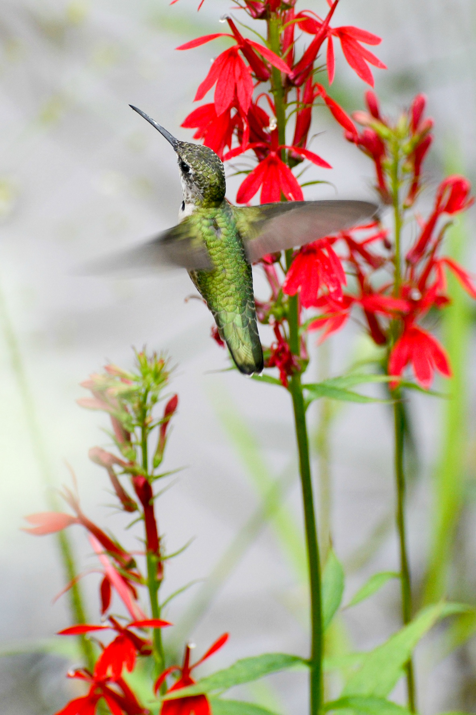5 apa 2015 kristen cart 277292 ruby throated hummingbird cardinal flower kk%20%281%29