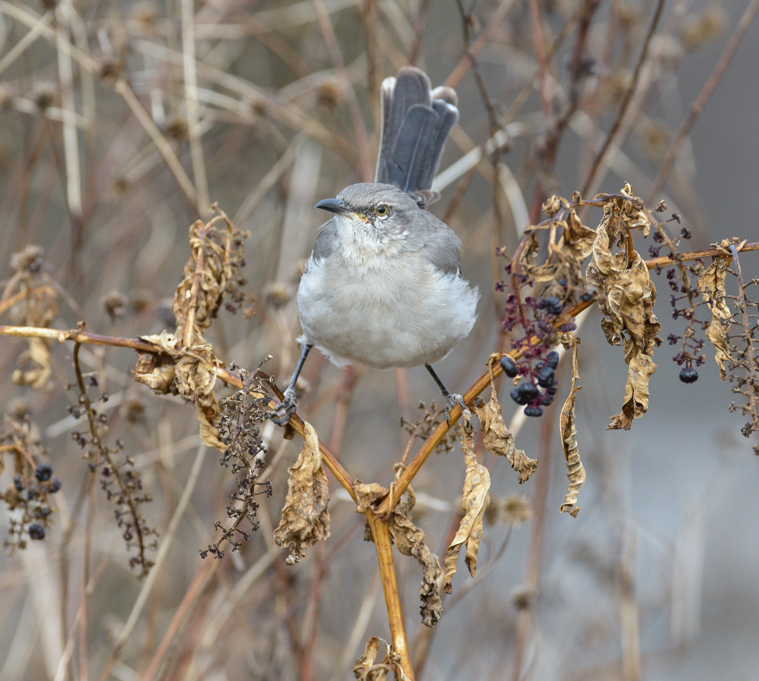 14 northern mockingbird pokeweed steven kersting flickr cc%28by nc nd%202.0%29