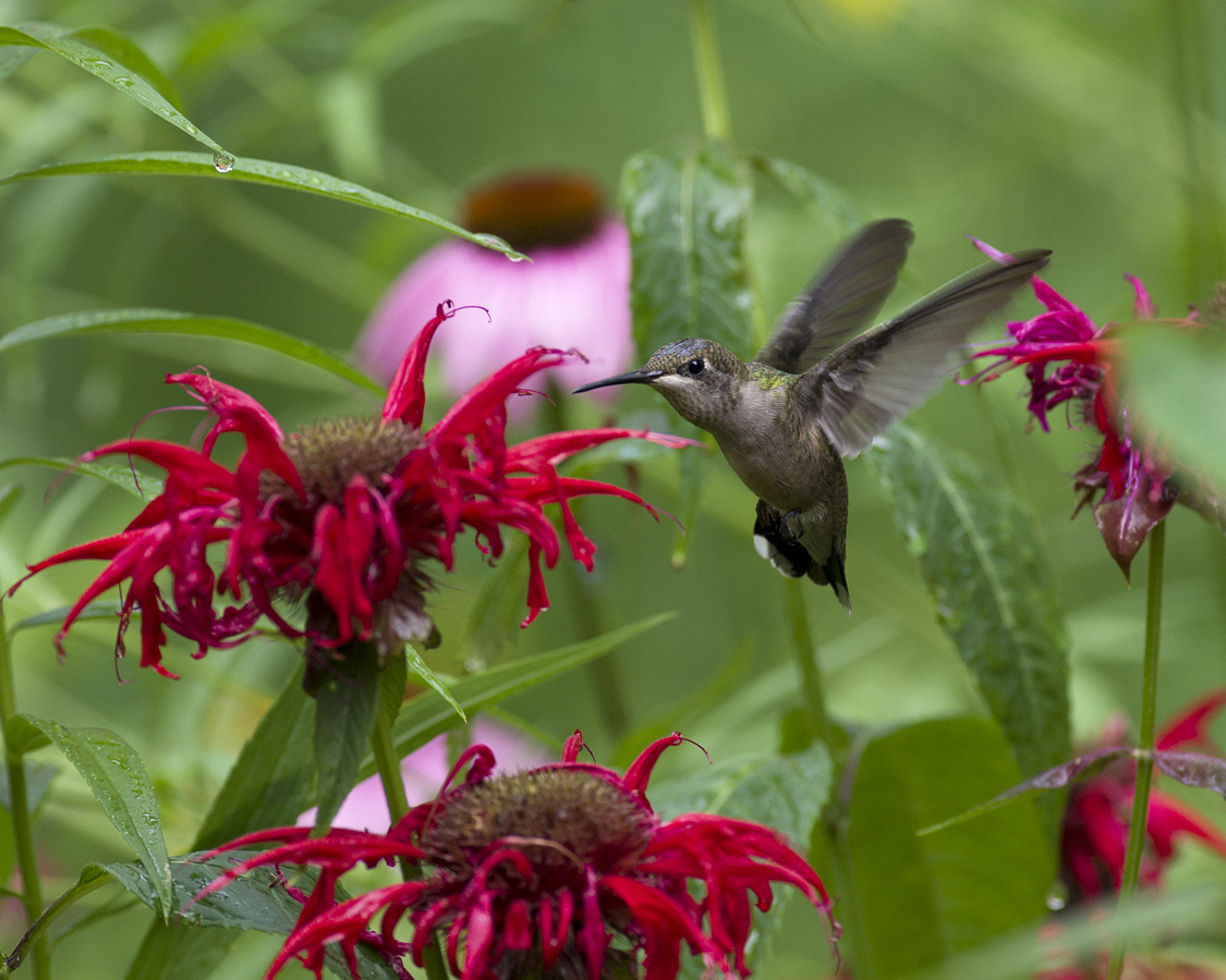 17 ruby throated hummingbird bee balm budohio cc%28by nc nd%202.0%29%20%281%29